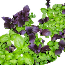 50 pcs mixed Basil (Ocimum basilicum) Rare Heirloom Culinary Herb Seeds