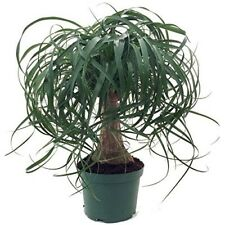"Guatemalan Red Ponytail Palm Tree Beaucarnea 6"" pot Easy to Grow Live Plant New"