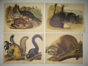 4 Old Vintage Audubon Prints Fox Squirrel Raccoon Mink Mammals Quadruped Plates