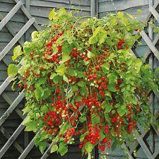 9 Semillas  Tomate Pasa - Solanum Pimpinellifolium - Flores Jardín - Garden Semi