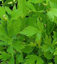 Lovage-200 seeds-Non GMO-Open Pollinated-Medicinal.