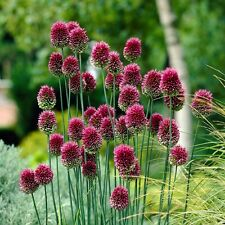 "20 X ""ALLIUM DRUMSTICKS"" SPHAEROCEPHALON SPRING FLOWERING BULBS,BEE FRIENDLY"