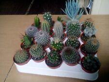10 x Mixed Cacti/Cactus Plants (5.5cm Pots) - Cacti Assorted Varieties
