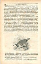 Perdrix rouge Alectoris rufa oiseau de la famille phasianidés GRAVURE PRINT 1849