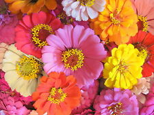 Mixed Zinnia Seeds, Farm Mix, Heirloom Zinnia Seeds, Non-gmo Annual Flower, 75ct
