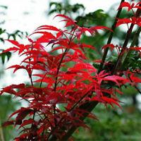 Roter japanischer Fächerahorn 20 PCS Acer Misu Samen palmatum