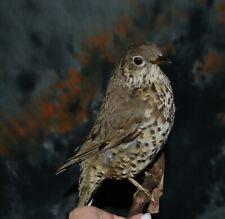 Real Taxidermy Stuffed Mistle thrush Colored Bird New