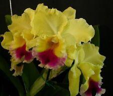 "CATTLEYA Blc. GOLDENZELLE ""Lemon Shiffon"" Am/Aos - Young plants -rare hybrid"