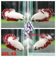 [153_A3]Live Betta Fish High Quality Male Red Dragon Plakat 📸Video Included📸