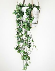 String of hearts Plant 9cm pot 25cm drop Ceropegia woodii Delivered to your door