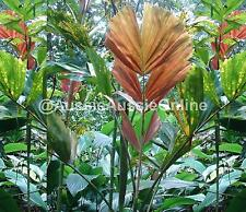 Angel Wings Palm Seeds - Rare Plant - Exotic - Colourful - Aussie Stock