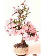 Japanische Zierkirsche / Blütenkirsche 10 Samen / Pack (Prunus serrulata)