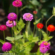 Zinnia, Lilliput Mix Heirloom Seeds - Non-Gmo - Untreated - Open Pollinated!