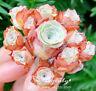 "Greenovia SP Mountain Rose 悅色 mini Cluster Korean Rare Succulent Plant 3"""