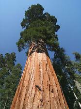 100 Samen Küstenmammutbaum (Sequoia sempervirens), winterhart, Küsten-Mammutbaum