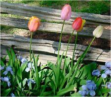 Pacco 10 Bulbi Darwin Tulipani Autunnali Per Giardino Misti Nuovo