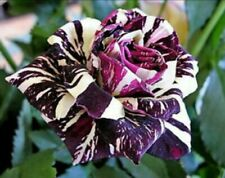 20x Lila Drachen Rosen Samen Rarität Blume
