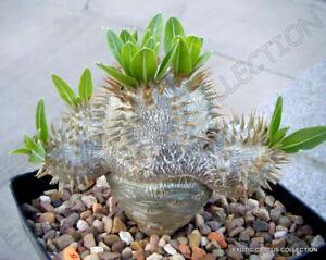 PACHYPODIUM DENSIFLORUM rare madagascar palm cactus cacti succulent seed 5 seeds