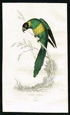 1833 Australian Ringneck Parrot, Hand-Colored Antique Engraving Print - Kidd