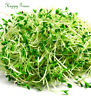 Sprouting seeds - ALFALFA Sprouts  - 10 000  SEEDS - 20 GRAMS