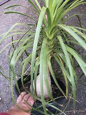 "Live Plant Pony Tail Palm - Bottle Palm - 24"" Tall Beaucarnea Recurvata"