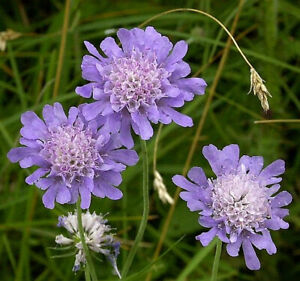 150 Seeds (Approx) -  Native Field Scabious Wild Flower Seeds