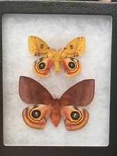 MOUNTED  MOTH! INCREDIBLE MALE & FEMALE PAIR AUTOMERIS IO ! EX-PUPAE! A-1! WOW!