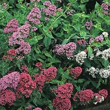 Jupiter's Beard (Centranthus Ruber Coccineus )Mix- 50 Seeds