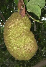 Xxl Giant Jackfruit Artocarpus Heterophyllus 2'-3' Ft Tropical Fruit Tree Plant!