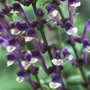 Scutellaria Altissima Tall Skullcap - 50 Seeds - Hardy Perennial