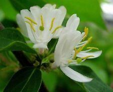 Fioritura invernale-CAPRIFOGLIO LONICERA fragrantissima - 50 semi-profumata Arbusto
