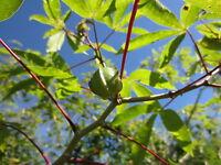 12 Cuttings Cassava Manihot esculenta Yuca Tree Plant