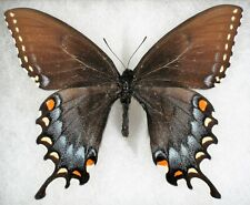 New ListingInsect/Butterfly/ Papilio glaucus maynardi - Female Very Blue