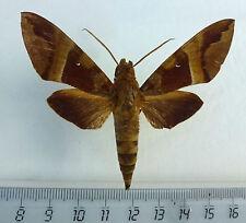 Sphingidae, Nephele rosea Männchen ex Zongo, Dom.Rep.Congo  n69