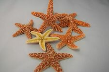 """Sugar StarFish Sea Shell Wedding Real Craft 3"""" - 4"""" (6 pcs)"""