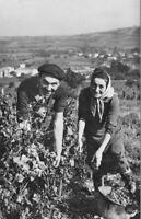 CPA -  LES VENDANGES - la cueillette du raisin