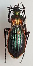 Carabidae Carabus Chrysocarabus lineatus lateralis subsalmantinus Spain #W90