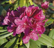 Rhododendron großblumige Hybride Cassata 30-40cm Frühlingsblüher