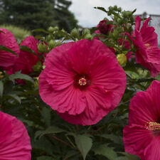 "bush hibiscus SUMMER IN PARADISE big flower hardy 2.5"" pot = 1 Live Potted Plant"