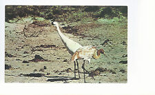 Whooping Cranes  Adult and Immature     Unused Chrome Postcard 963