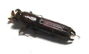 016 Mi : AG : Platyphodinae species? 12mm