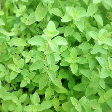 New listing 200+ Organically Grown Greek Oregano Seeds Herb Heirloom Non-Gmo Fragrant herbs