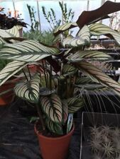 Calathea 'Whitestar' house plant. Striking Leaves. 75cm tall