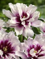 Peony Perennial Flowers & Plants