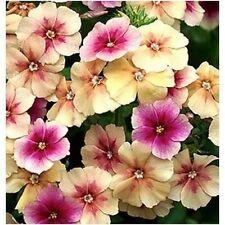 30+ Cherry Caramel Phlox Flower Seeds / Annual