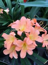 Clivia miniata Pale Pink Seed x 3. UK National Collection Holders.
