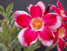 4 graines de ROSE DU DESERT (Adenium Obesum SANTA CLAUS)K36 IMPALA LILY SEEDS