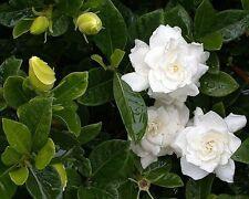 Live Gardenia, Cape Jasmine, Gandharaj plant,1 feet hieght Highly screntred,O209
