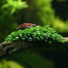 Fissidens fontanus Moss Scaping Gabelzahnmoos Aquariummoos super Qualität