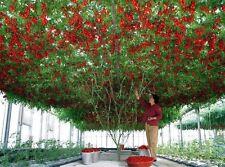 ITALIAN TREE TOMATO 'Trip L Crop' Rare Seeds!!!!